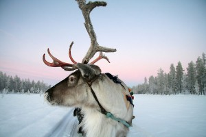 58368-9-lapland-reindeer