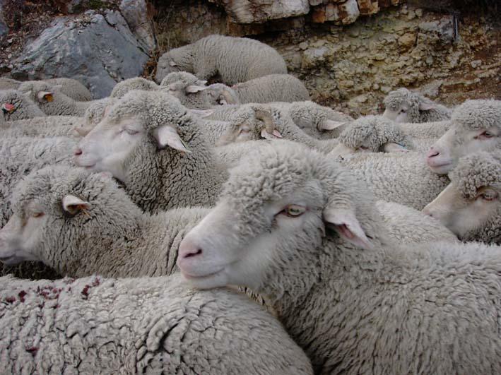mouton2,JPG
