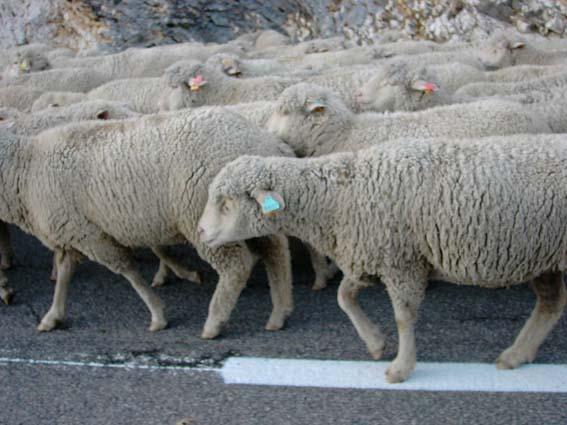 mouton,JPG