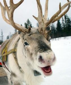 reindeer_enjoy_their_work_3_289